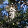Hibou moyen-duc.  Très rare toute l'année. Nicheur   _  Long-eared Owl .  Very rare all year long.  Breeds.