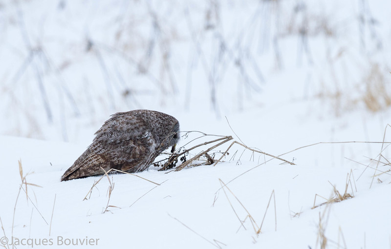 Chouette lapone, variable, automne au printemps. -  Great Gray Owl, Variable, fall through spring.