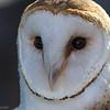 Effraie des clochers.  Extrêmement rare.  Nicheur _  Barn Owl. Extremely rare.  Breeds.