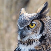 Grand-duc d'Amérique photographié à l'Écomusée de Sainte-Anne de Bellevue le 30 mars 2013. Peu commun toute l'année. Nicheur.  Great Horned Owl photographed at the Ecomuseum in Sainte Anne de Bellevue on 30 March 2013. Breeds.