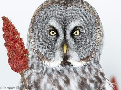 BIRDS OF PREY 2 (Owls only) -LES OISEAUX DE PROIE 2 (les hiboux seulement)