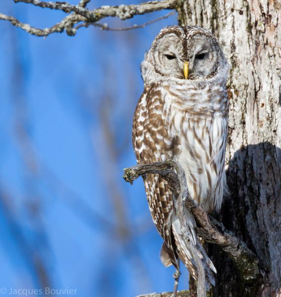 Chouette rayée.  Peu commun, toute l'année.  Nicheur _  Barred Owl.  Uncommon, all year.  Breeds.