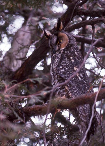 Hibou moyen-duc.  Très rare toute l'année. Nicheur   _  Long-eared Owl .  Very rare all year long.  Breeds