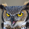 Grand-duc d'Amérique. Peu commun toute l'année. Nicheur;  Great Horned Owl.  Uncommon all year.  Breeds.