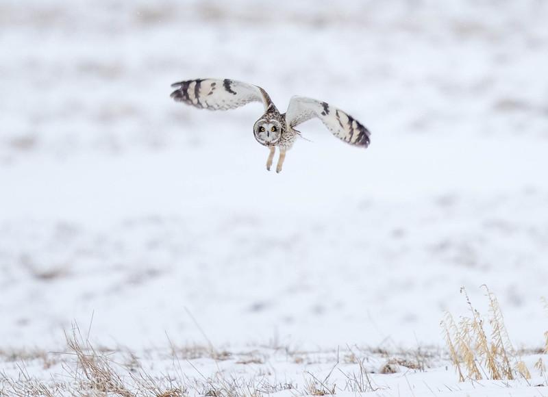 Hibou des marais.  Variable durant toute l'année (le plus souvent très rare).  Nicheur _  Short-eared Owl .  Variable all year long (most often very rare).  Breeds.