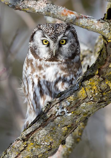 Nyctale de Tengmalm (anciennement Nyctale boréale).  Extrêmement rare, automne au printemps   _ Boreal Owl. Extremely rare, fall to spring.
