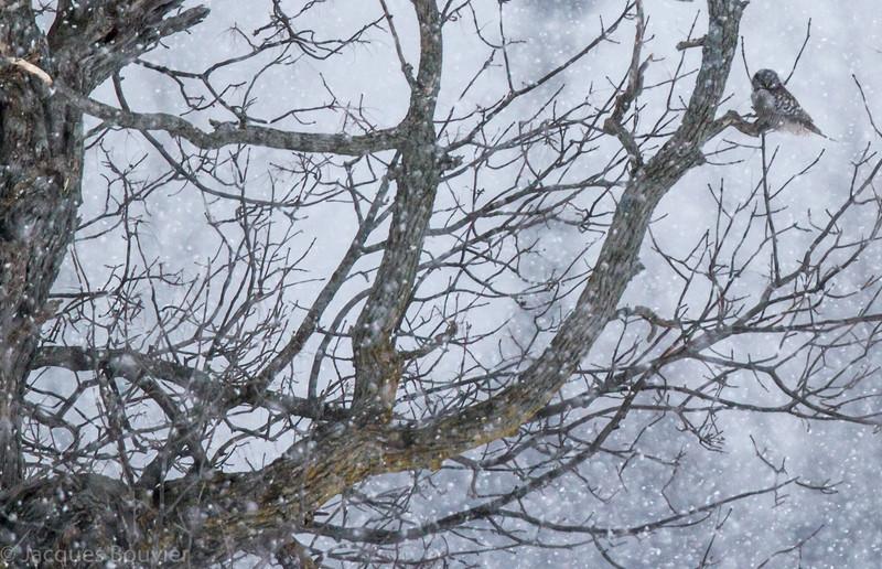 Chouette épervière.  Variable, automne au printemps. Extrêmement rare l'été.  Nicheur _   Northern Hawk-Owl.  Variable, fall to spring. Extremely rare in summer.  Breeds.