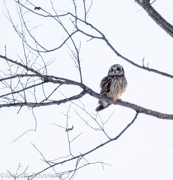 Hibou des marais observé sur l'Île Amherst le 8 mars 2015.   SHOT-EARED OWL observed on Amherst Island on 8 March 2015.