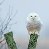 """Harfang des neiges, femelle adulte probable, près de St-Isidore le 23 décembre 2015.  Cet oiseau était très gros, comme une femelle.<br />  <br /> Voir la présentation au lien suivant pour savoir comment ager et sexer les harfangs:<br /> <br /> <a href=""""http://www.dvoc.org/OrnithStudy/Presentations/Presentations2012/Snowy%20Owl%20plumages.pdf"""">http://www.dvoc.org/OrnithStudy/Presentations/Presentations2012/Snowy%20Owl%20plumages.pdf</a><br /> <br /> <br />  <br /> This is most likely an adult female Snowy Owl.  It was seen  in the St-Isidore area on 23 December 2015.  This owl was quite large, like a female.<br /> <br /> See presentation at link below to learn how to age and sex Snowy Owls:<br /> <br /> <a href=""""http://www.dvoc.org/OrnithStudy/Presentations/Presentations2012/Snowy%20Owl%20plumages.pdf"""">http://www.dvoc.org/OrnithStudy/Presentations/Presentations2012/Snowy%20Owl%20plumages.pdf</a>"""