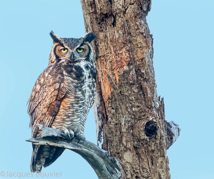 Grand-duc d'Amérique. Peu commun toute l'année. Nicheur;  Great Horned Owl.  Uncommon all year.  Breeds.