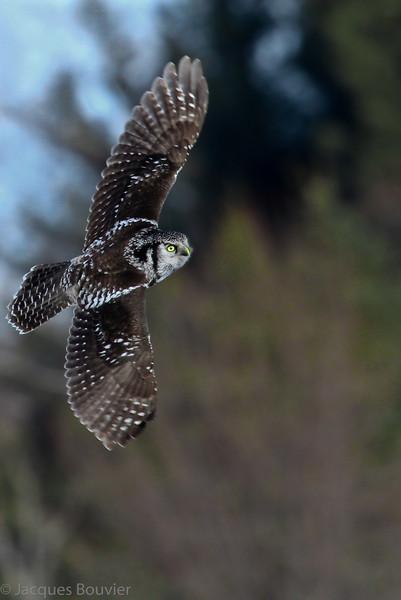 Chouette épervière.  Variable, automne au printemps. Extrêmement rare l'été.  Nicheur _   Northern Hawk-Owl.  Variable, fall to spring. Extremely rare in summer.  Breeds
