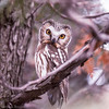 Petite Nyctale.  Rare, automne-printemps.  Nicheur possible _  Northern Saw-whet Owl.  Rare, fall-spring.  Possibly breeds.