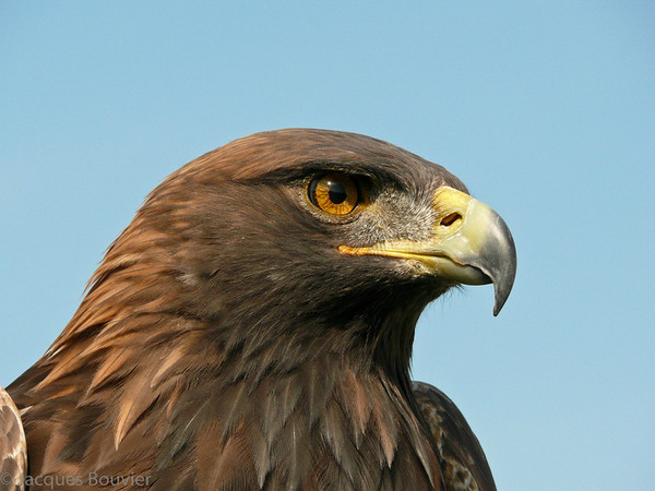 Aigle royal. Rare, automne-printemps    _    Golden Eagle. Rare, fall-spring.