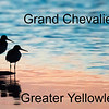 Grand Chevalier - Greater Yellowlegs