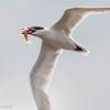 Sterne caspienne - Caspian Tern