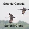 Grue du Canada - Sandhill Crane