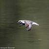Pluvier argenté - Black-bellied Plover