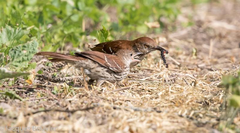 Moqueur roux.  Commun, printemps-automne.  Très rare l'hiver.  Nicheur  _   Brown Thrasher.  Common, spring-fall.  Very rare in winter.  Breeds.