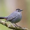 Moqueur chat.  Commun, printemps-automne; très rare l'hiver. Nicheur  _  Gray Catbird.  Common, spring-fall; very rare in winter. Breeds.