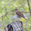 Grive solitaire.  Commun, printemps-automne.  Très rare l'hiver.  Nicheur  _  Hermit Thrush.  Common, spring-fall.  Very rare in winter.  Breeds.