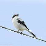 Pie-gri�che migratrice.  Tr�s rare,  printemps-automne.  Nicheur  _  Loggerhead Shrike.  Very rare, spring-fall.  Breeds.