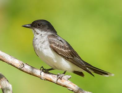 Tyran tritri.  Commun, printemps-automne.  Nicheur  _   Eastern Kingbird.  Common, spring-fall.  Breeds.