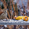 Moqueur roux.  Commun, printemps-automne.  Très rare l'hiver.  Nicheur  _   Brown Thrasher.  Common, spring-fall.  Very rare in winter.  Breeds.