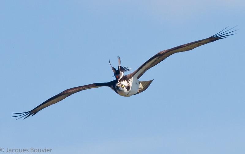 Balbuzard pêcheur. Commun, printemps-automne.  Nicheur _ Osprey. Common, spring-fall.  Breeds.