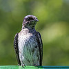 Hirondelle noire.  Commun, printemps-automne.  Nicheur  _  Purple Martin.  Common, spring-fall.  Breeds.