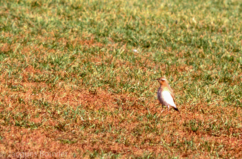 Traquet motteux.  Extêmement rare à l'automne  _  Northern Wheatear.  Extremely rare during fall.
