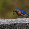 Merlebleu de l'Est.  Peu commun du printemps à l' automne; très rare l'hiver.  Nicheur  _  Eastern Bluebird.  Uncommon from spring to fall; very rare in winter.  Breeds.