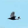 Corneille d'Amérique.  Commun toute l'année.  Nicheur  _   American Crow.  Common all year.  Breeds.