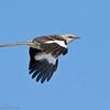 Moqueur polyglotte.  Rare, printemps-automne.  Très rare l'hiver.  Nicheur  _  Northern Mockingbird. Rare, spring-fall.  Very rare in winter.  Breeds.