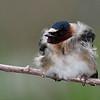 Hirondelle à front blanc.  Commun, printemps-automne. Nicheur  _  Cliff Swallow.    Common, spring-fall. Breeds.