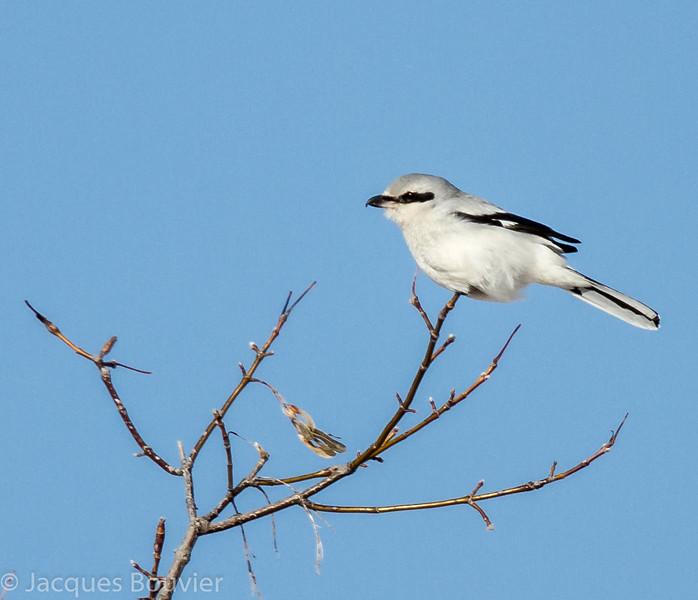 Pie-grièche grise. Peu commun, automne-printemps  _  Northern Shrike.  Uncommon, fall-spring.