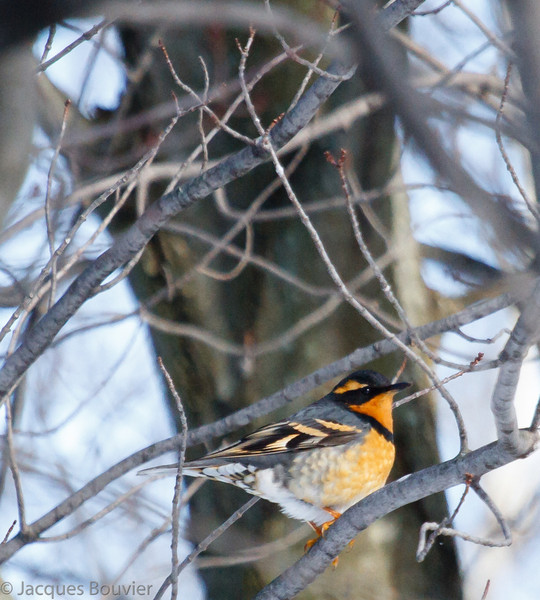 Grive à collier.  Extrêmement rare de l'automne au printemps  _  Varied Thrush.  Extremely rare from fall to spring.