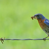 Merlebleu de l'Est.  Peu commun du printemps à l' automne; très rare l'hiver.  Nicheur  _   Eastern Bluebird.  Uncommon from spring to fall; very rare in winter.  Breeds.