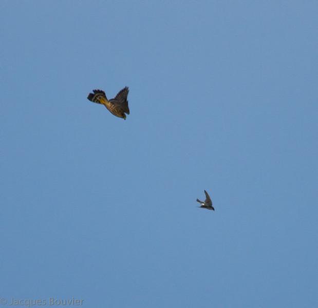 Faucon émerillon.  Peu commun, printemps-automne; rare l'hiver.  Nicheur  _  Merlin.  Uncommon, spring-fall; rare in winter. Breeds.