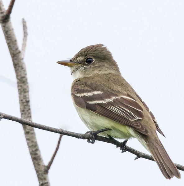 Moucherolle des aulnes.  Commun, printemps-automne. Nicheur _  Alder Flycatcher.  Common, spring-fall. Breeds.