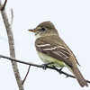 Moucherolle des aulnes.  Commun, printemps-automne. Nicheur _  Alder Flycatcher.  Common, spring-fall. Breeds.