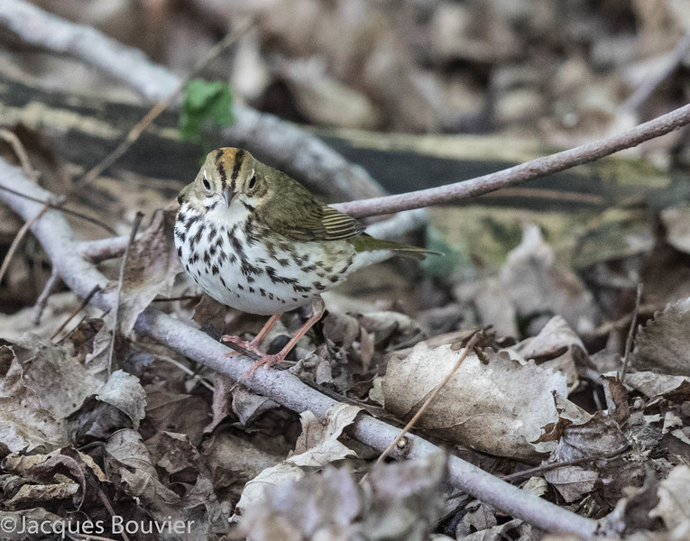 Paruline couronnée.  Commun, printemps-automne.  Nicheur _ Ovenbird.  Common, spring-fall.  Breeds.