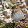 Grive fauve.  Commun, printemps-automne. Nicheur  _  Veery.  Common, spring-fall.  Breeds.