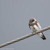 Hirondelle de rivage.  Commun, printemps-automne.  Nicheur  _  Bank Swallow.  Common, spring-fall.  Breeds.