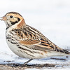 Plectrophane lapon.  Variable, automne au printemps _ Lapland Longspur. Variable, fall to spring.