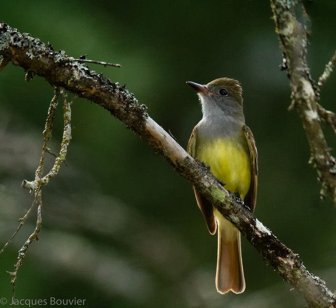 Tyran huppé.  Commun, printemps-automne.  Nicheur  _  Great Crested Flycatcher.  Common, spring-fall.  Breeds.