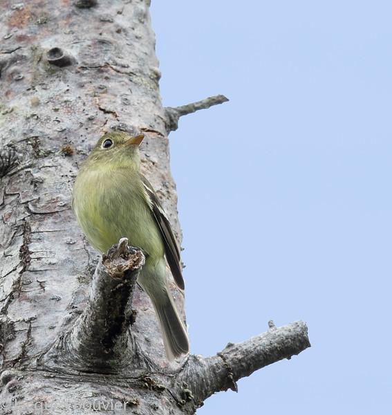 Moucherolle à ventre jaune.  Très rare, printemps à l'automne.  Nicheur possible _ Yellow-bellied Flycatcher.  Very rare, spring-fall.  Possible breeder.