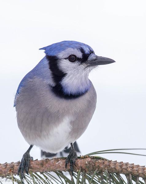 Geai bleu.  Commun, toute l'année. Nicheur  _  Blue Jay.  Common, all year. Breeds.