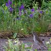 Grive à joues grises adulte mâle à Schefferville QC le 1 juillet 2012.<br /> Différenciée de la Grive à dos olive par les joues grisâtres et l'anneau oculaire moins net.<br /> <br /> Très rare, printemps et automne.<br /> <br /> An adult male Gray-cheeked Thrush in Schefferville QC on 1 July 2012.<br /> Distinguished from Swainson's Thrush by its greyish cheeks, greyish, less conspicuous, often broken eye-ring.<br /> <br /> Very rare, spring and fall.