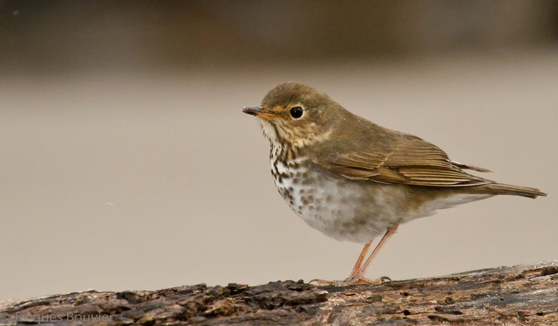 Grive à dos olive.  Rare, printemps-automne.  Nicheur possible  _  Swainson's Thrush.  Rare, spring-fall.  Possible breeder.