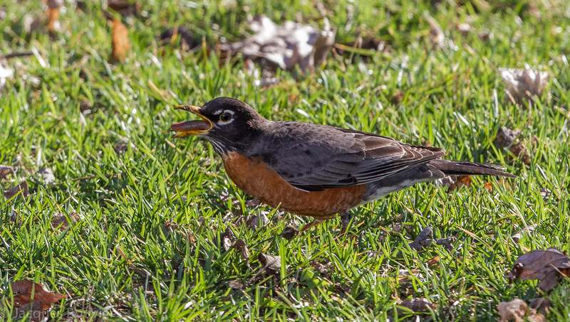 Merle d'Amérique.  Commun du printemps à l'automne. Variable l'hiver. Nicheur _  American Robin.  Common from spring to fall. Variable in winter. Breeds.